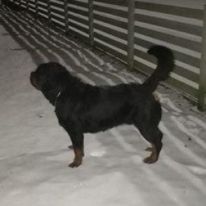eks-vakthundar-schafer-rottweiler-pitbull-bevakning-hundvakts-bolag-skane-sakerhet-skydd